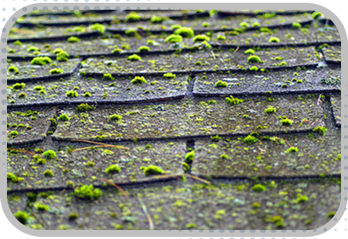 Moss removal Bellevue done perfectly. We offer moss removal services for clients in Seattle, Bainbridge and Bellevue. Talk to us now